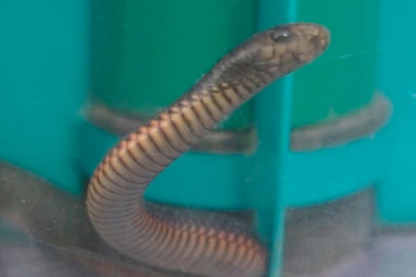 Highly venomous' snake rescued from vacuum cleaner after homeowner sucked up reptile